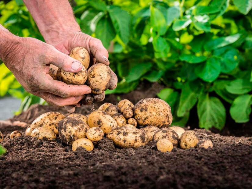 Состав и полезные свойства картофеля